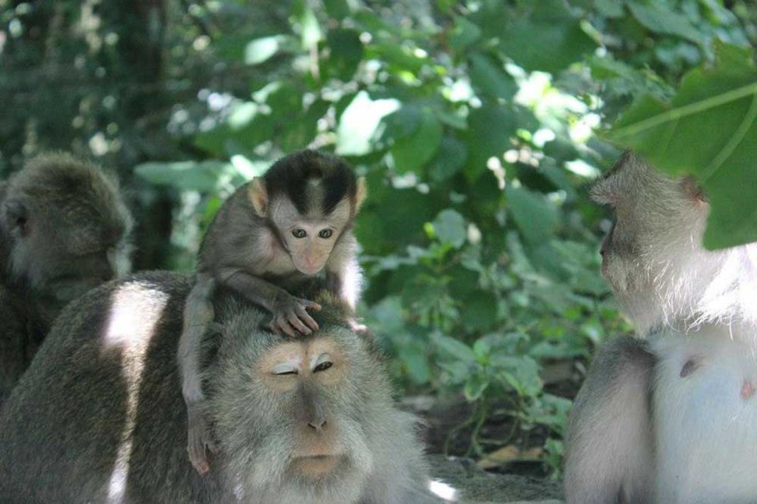Is It Safe To Visit Monkey Forest Ubud With Baby? Find Out Here