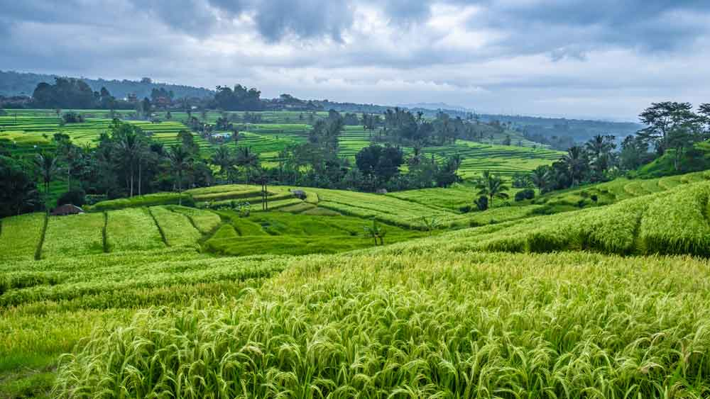 Pacung Rice Terrace Bali