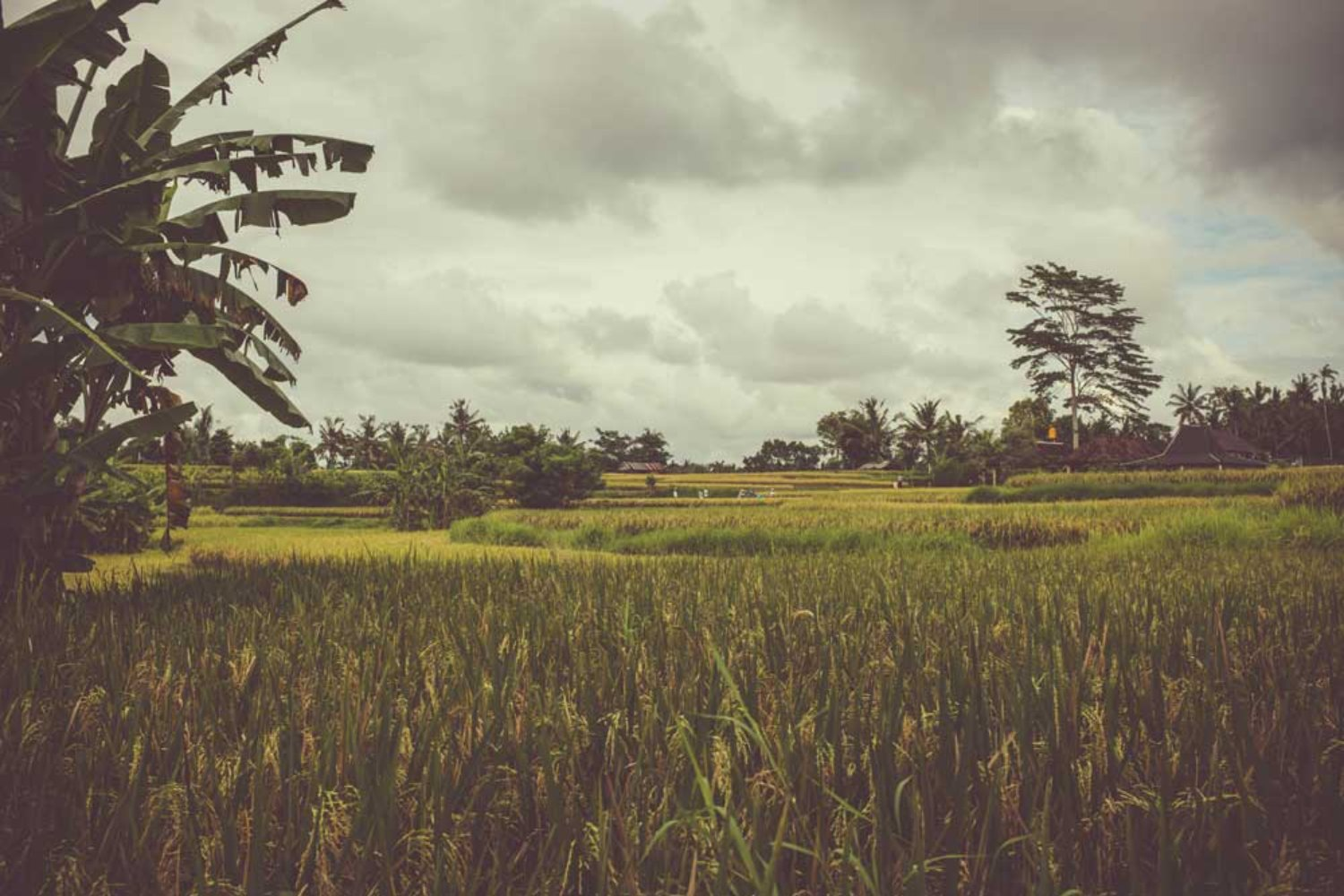 8 Beautiful Rice Terrace in Bali with Updated Entrance Fee