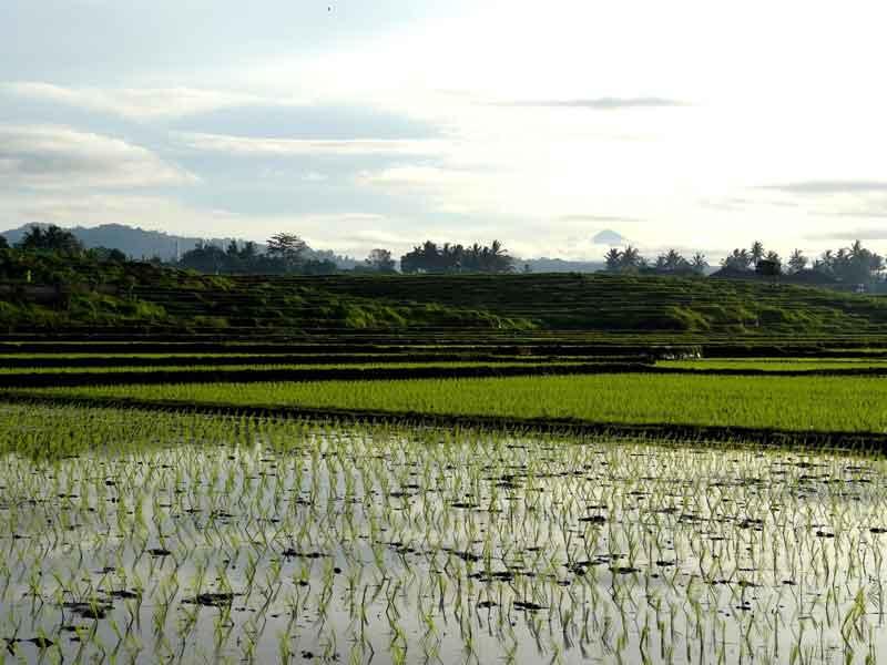 Bali Rice Terrace Munduk