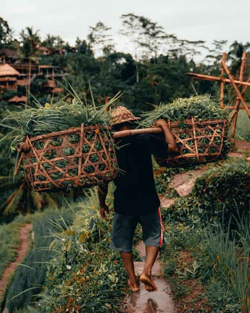 Farmer Carrying Woven Baskets with Grasses