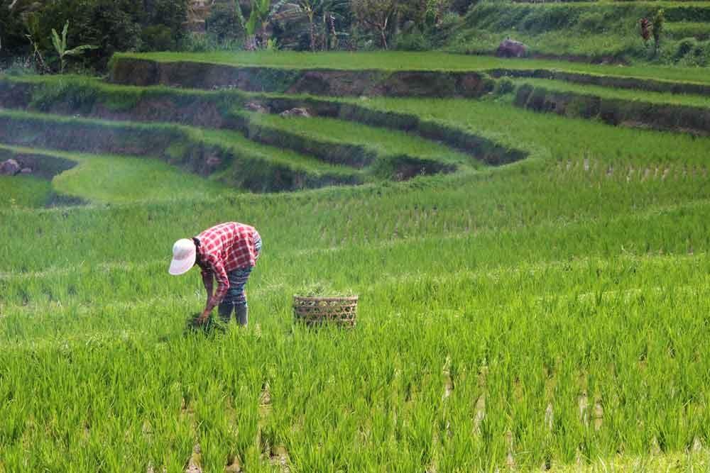 Farmer Cutting Grasses at Jatiluwih Rice Terrace