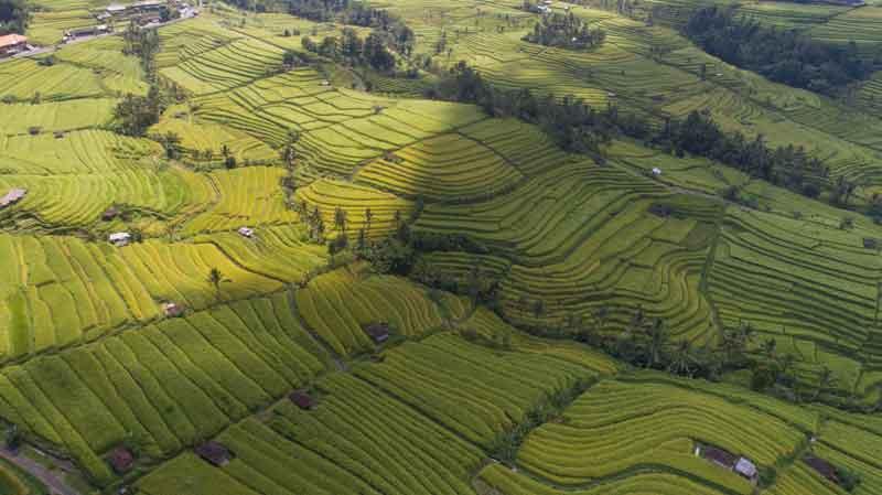 Green Rice Terrace in Jatiluwih