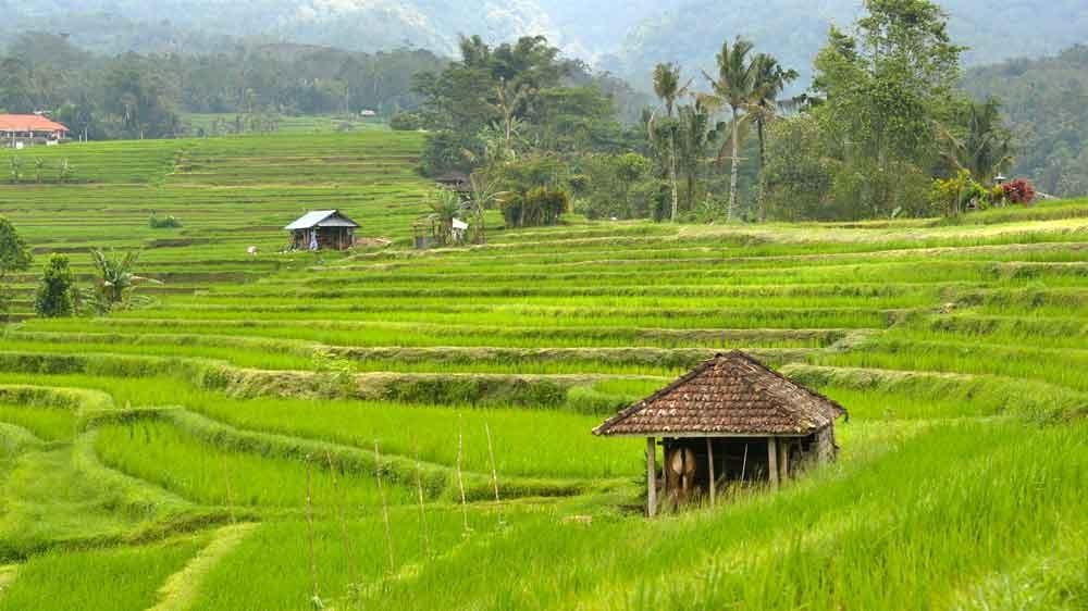 Green Scenery in Jatiluwih Rice Terrace