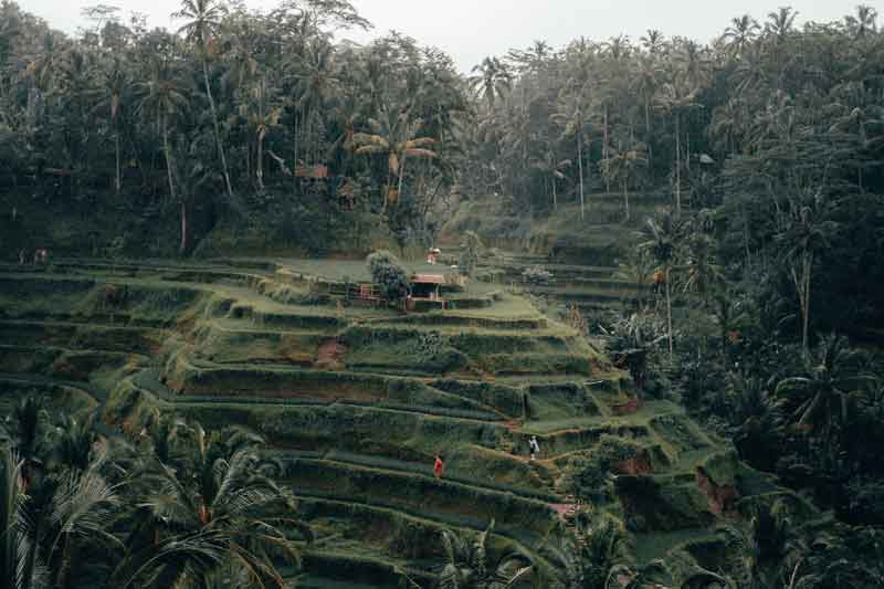 Green Scenery of Tegalalang Rice Terrace
