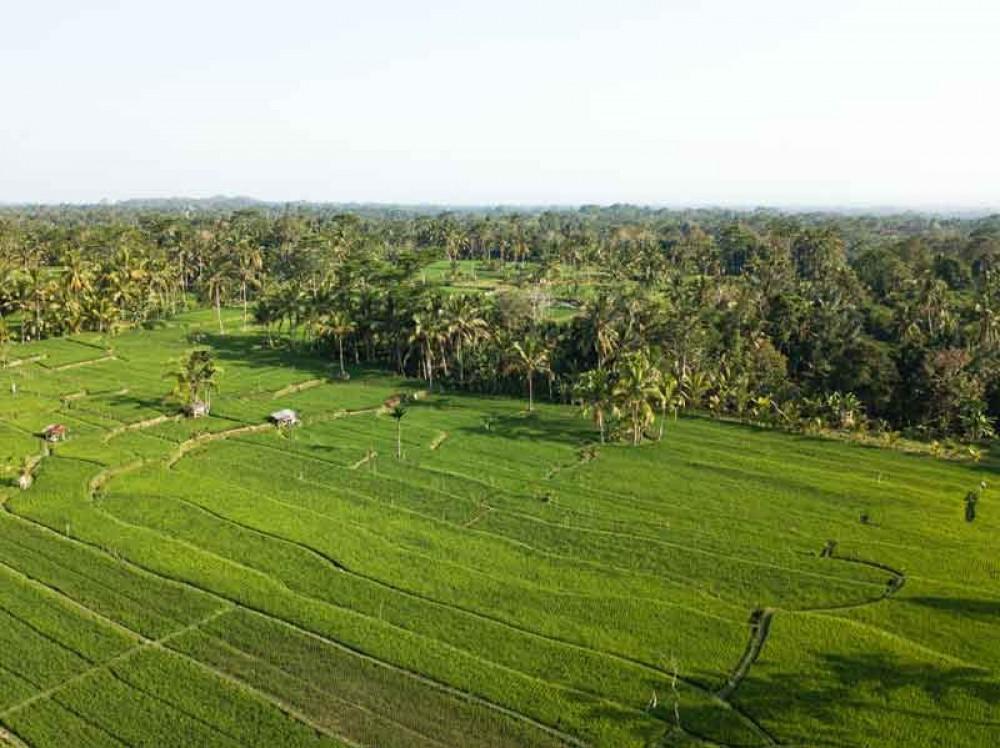 Green Soka Rice Field Tabanan