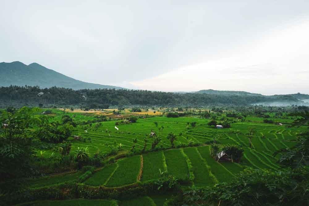 Jatiluwih Rice Terrace Before Harvest Season
