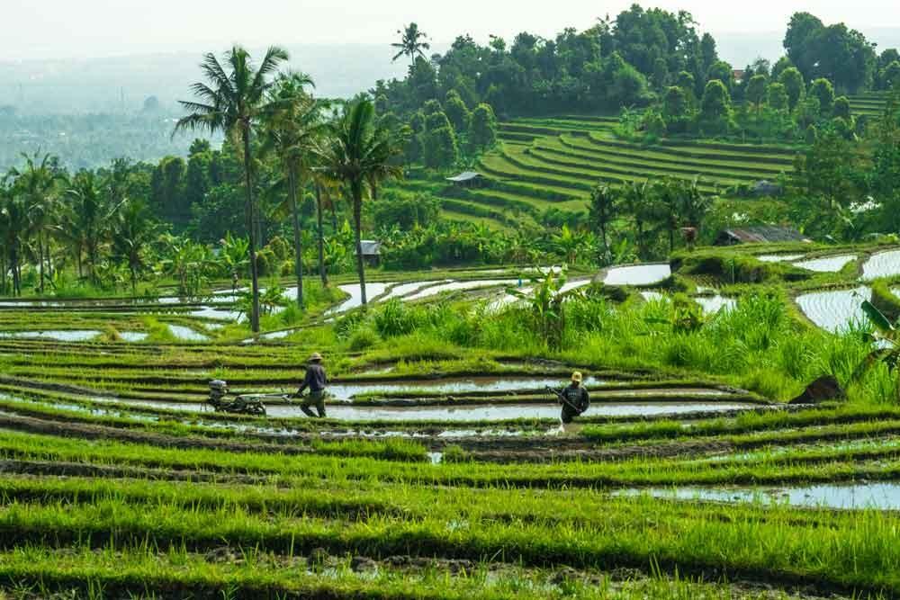 Local Farmers at Jatiluwih Rice Terrace