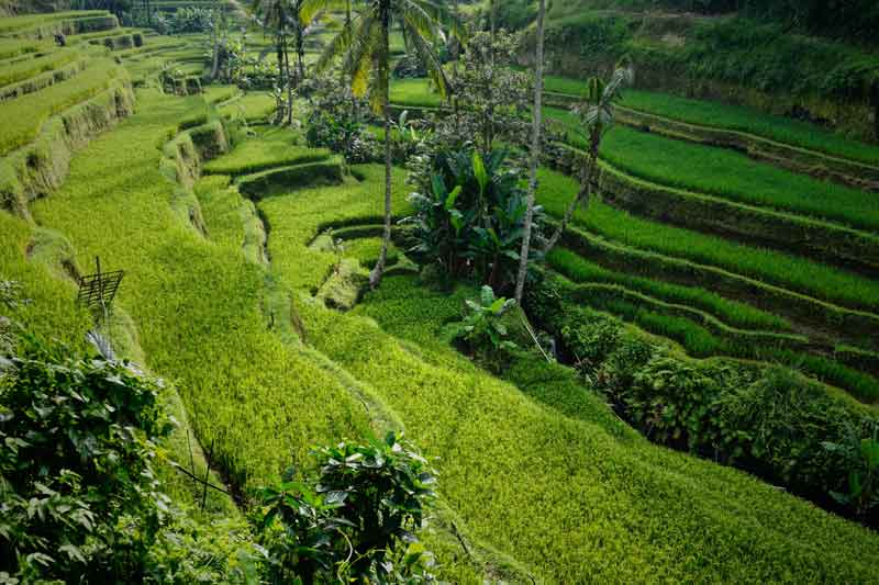 Pacung Rice Terrace Sunrise or Sunset