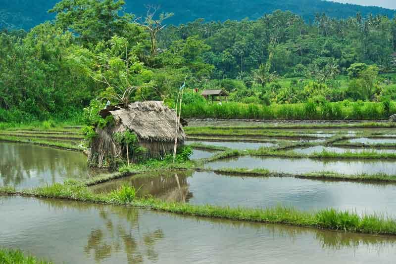 Rice Terrace at Bukit Jambul Village