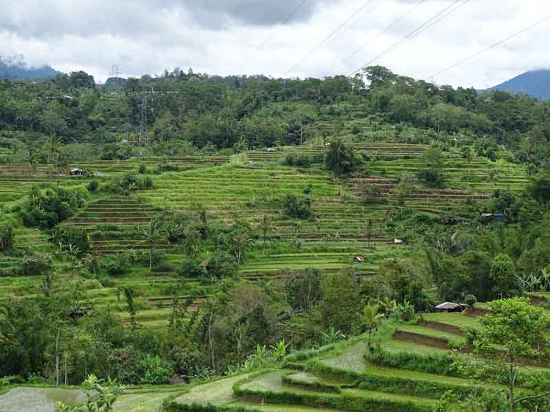 Rice Terrace at Pacung Village