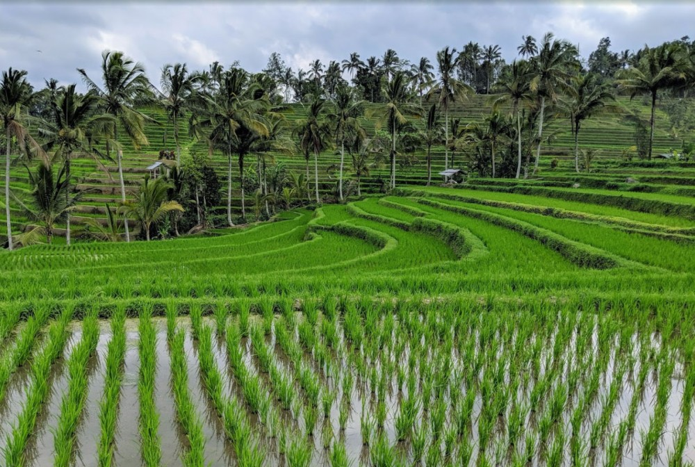 Trekking Experience at Jatiluwih Rice Terrace