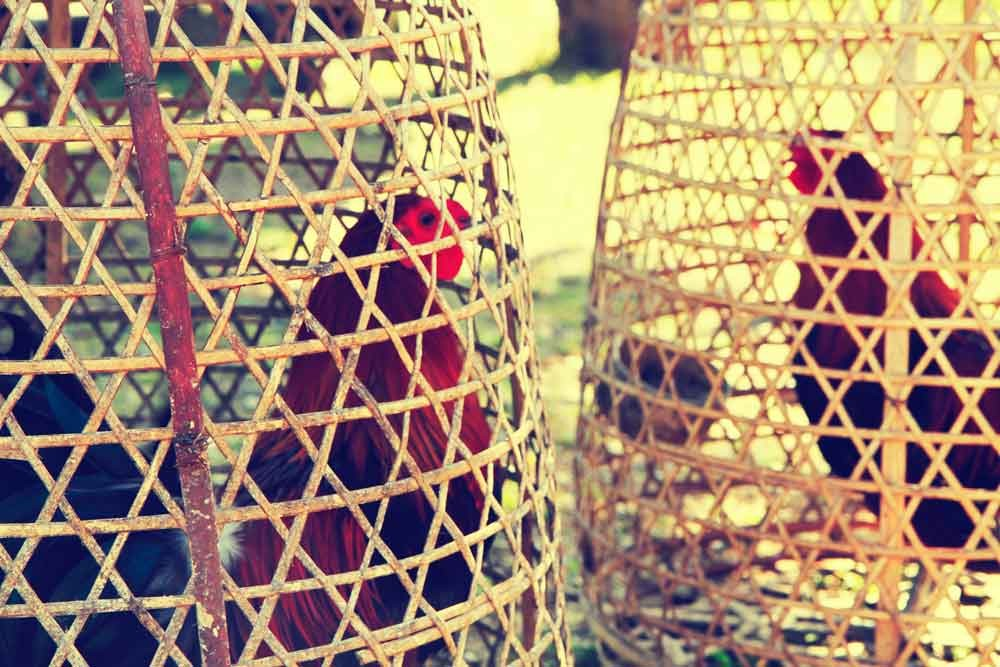 4 Interesting Facts About Balinese Cockfight Ritual
