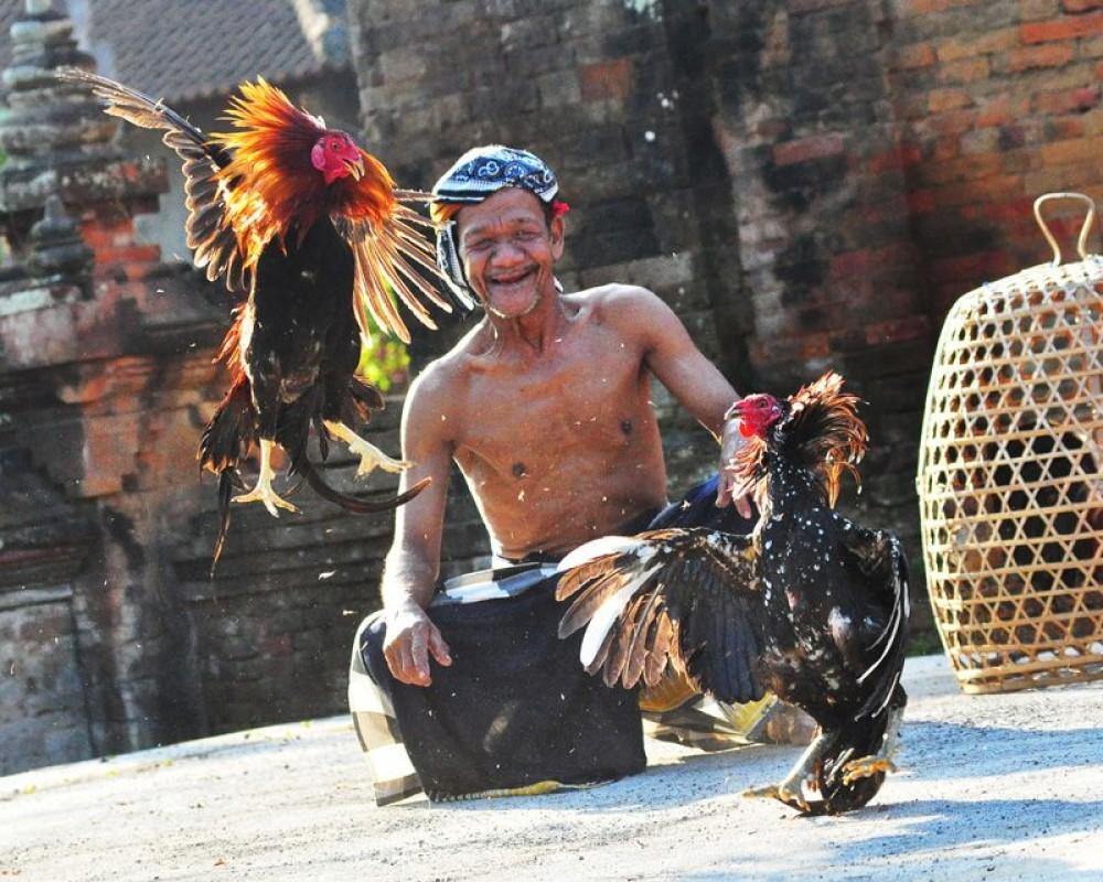 Cock For Tabuh Rah Ritual - Pinterest @Tonys Villas and Resort Seminyak Bali