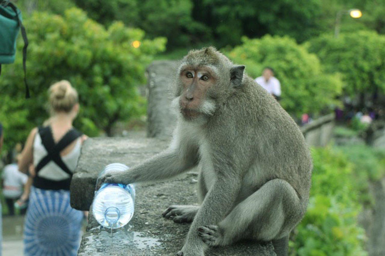 5 Tips Aman Dari Monyet Nakal Saat Berkunjung Ke Pura Uluwatu