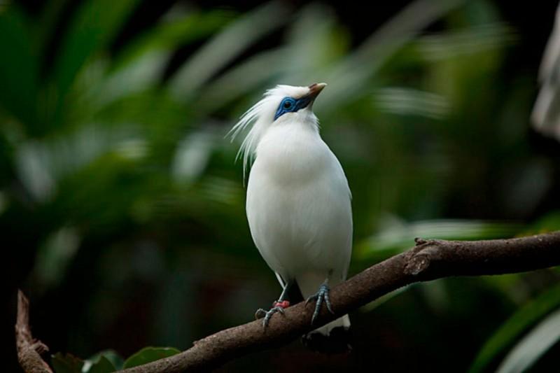 Burung Jalak Bali Di Bali Bird Park