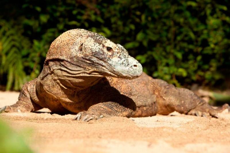 Komodo Di Taman Burung Bali Bird Park