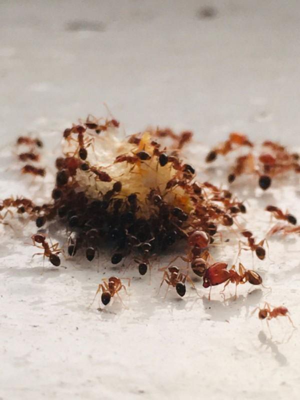Madu Tetap Dikerubutin Semut