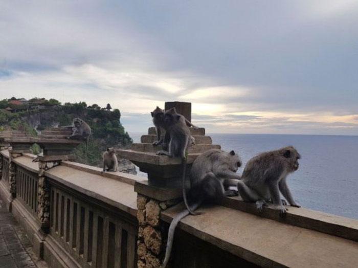 Monyet Berekor Panjang Di Pura Uluwatu
