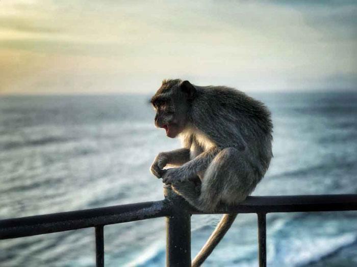 Monyet Yang Sedang Duduk Di Dinding Uluwatu