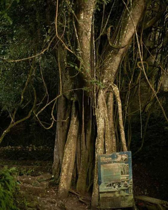 Pohon Taru Menyan Di Desa Trunyan
