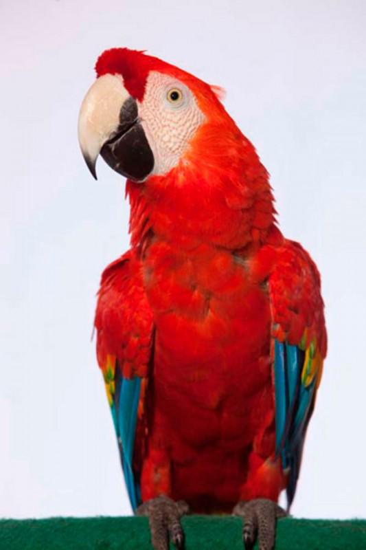 Scarlet Macaw di Bali Bird Park