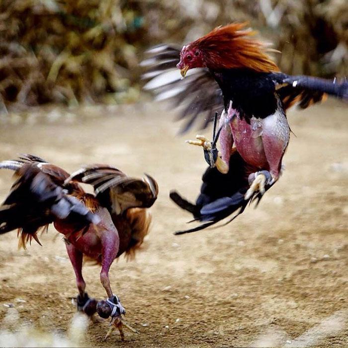 Tradisi Adu Ayam di Bali