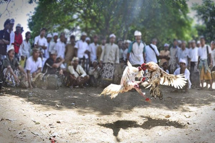 Tradisi Sabung Ayam di Bali