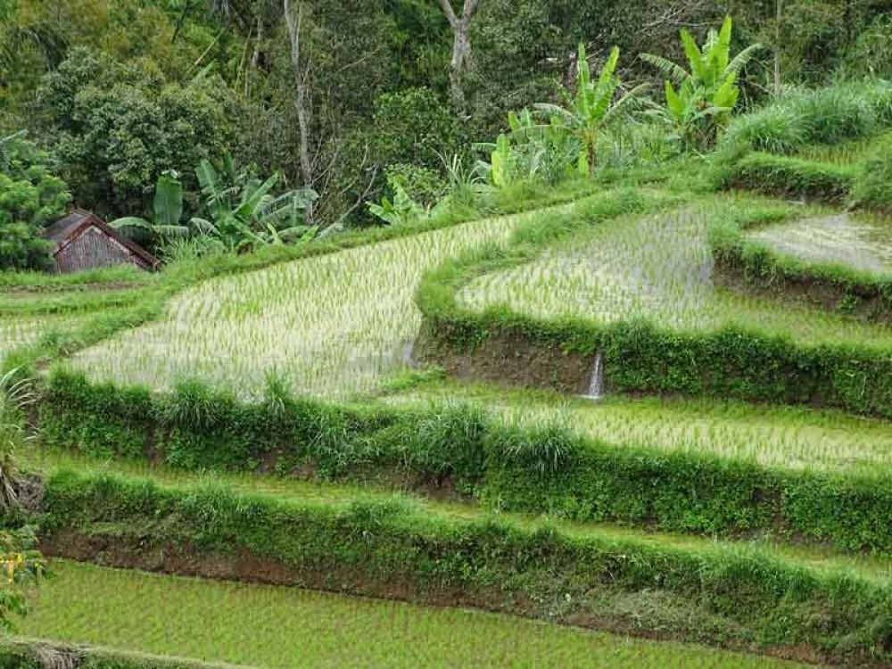 Soka Rice Terrace Bali, a Fabulous Green Scenery in Bali West