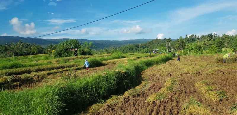 Soka Rice Terrace After Harvest Season