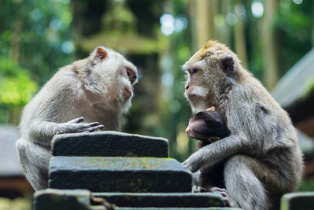 The Adorable Long-Tailed Monkeys at Uluwatu Temple