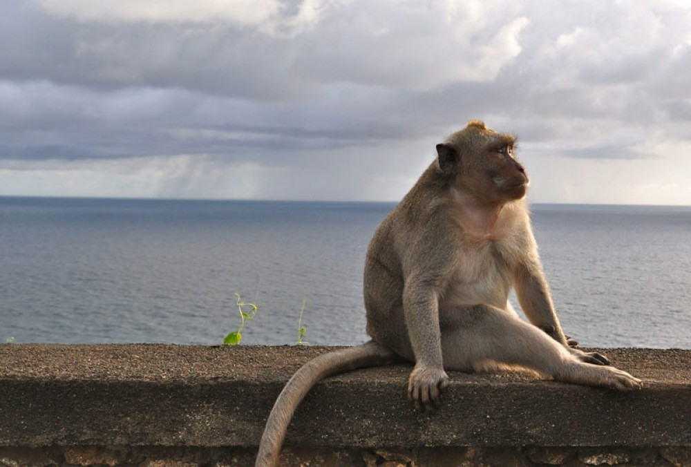 Monkey Which Sits On The Wall of Uluwatu Temple